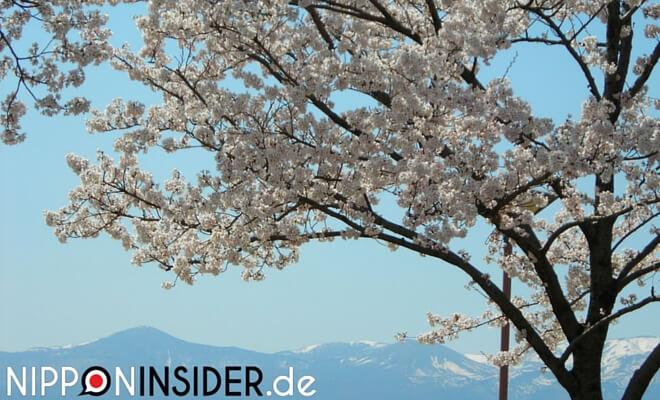 Im Vordergrund: blühender Kirschbaum. Im Hintergrund die Berglandschaft von Fukushima