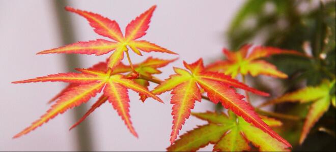 Blattfärbung des Ahornbaumes in Rot, Gelb und Grün. Herbst in Japan