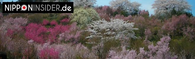 Frühling in Japan, blühende Bäume am Berghang. Hanami-yama in Fukushima | 福島の花見山