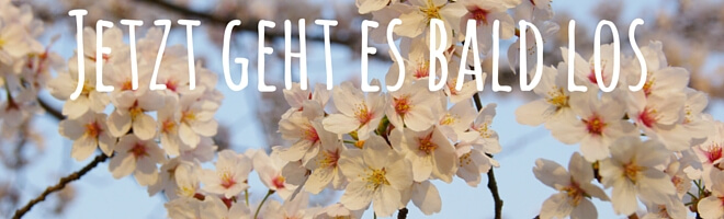 Kirschblüten in voller Blüte, Mankai in Japan. Text: Jetzt geht es bald los