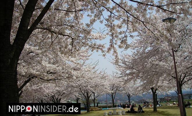 ©2008/04/15 by Nipponinsider |Picknick unter Kirschbäumen | Hanami auf dem Shinobuyama in Fukushima. Frühling in Japan