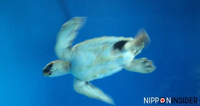 Bild einer Schildkröte im Wasser von unten, verschwommen | Nipponinsider