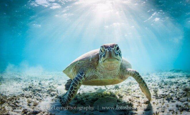 Bildmotiv von Pete Leong: Wasserschildkröte im Sonnenlicht. Wissenswertes über Okinawas Tauchparadiese | Nipponinsider