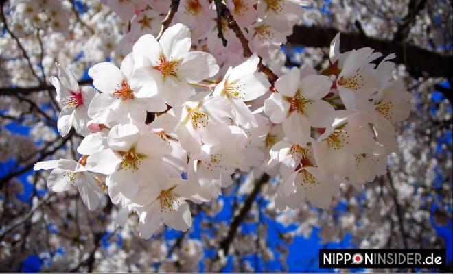 Mankai. Japanische Kirschblüte in voller Pracht | Nipponinsider