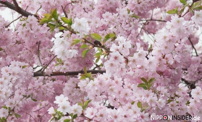 Kirschbaumblüten Sakura in voller Blüte | Nipponinsider