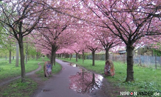 Kirschblüten Allee an der Bornholmer Straße bei Regen | Nipponinsider japanblog