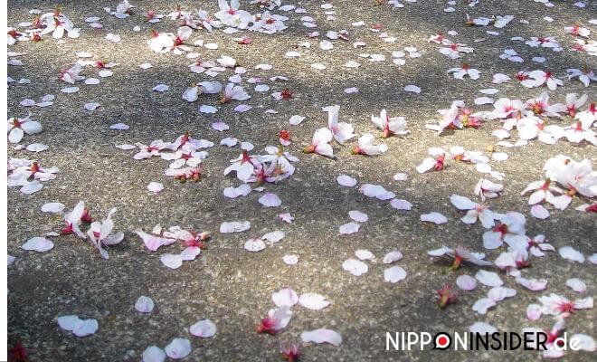 heruntergefallene Kirschblüten auf Asphalt | Nipponinsider