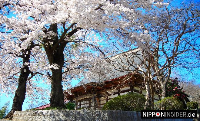 Japanischer Kirschbaum in voller Blüte vor einem alten Haus in Fukushima | Nipponinsider