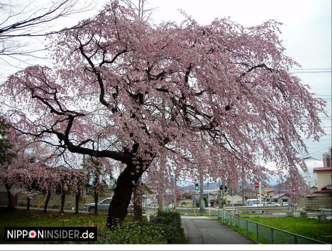 Japanischer Kirschbaum vom Wind geformt | Nipponinsider