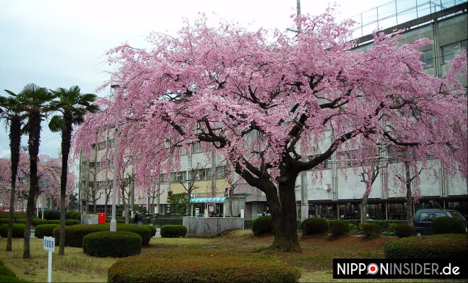 Japanischer Kirschbaum vor dem Rathaus in Fukushima | Nipponinsider