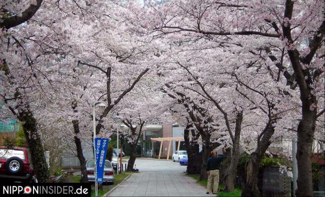 Von Kirschbäumen gesäumter Weg mit einem Dach aus rosa Blüten | Nipponinsider