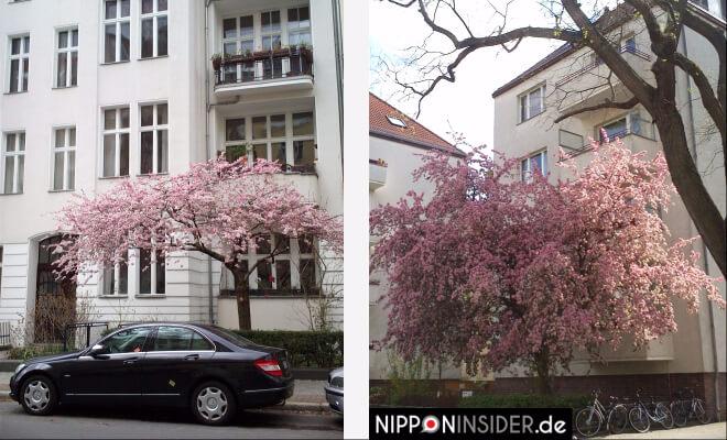 Blühende Bäume in Berlin | Nipponinsider