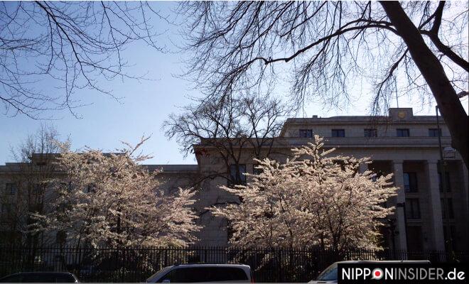 Kirschbäume vor der japanischen Botschaft in Berlin | Nipponinsider Japanblog
