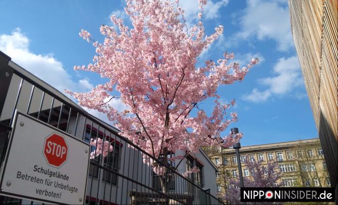 Kirschbaum in voller Blüte in Friedrichshain | Nipponinsider Japanblog