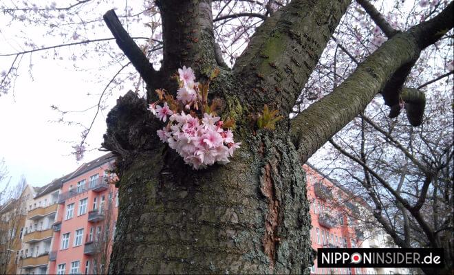 Ein paar Kirschblüten an einem Baumstamm | Nipponinside Japanblog