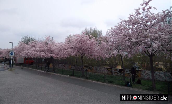 blühende Kirschbäume in einer Reihe am Mauerpark | Nipponinsider