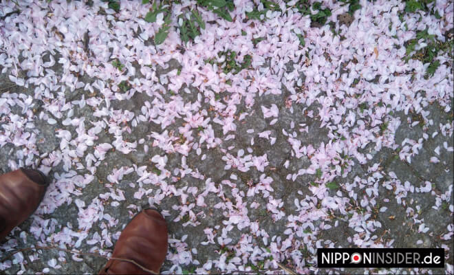 Sakurablütenblätter abgefallen | Nipponinsider