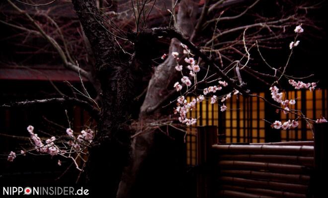 Beginn der Japanischen Kirschblütenzeit | Nipponinsider