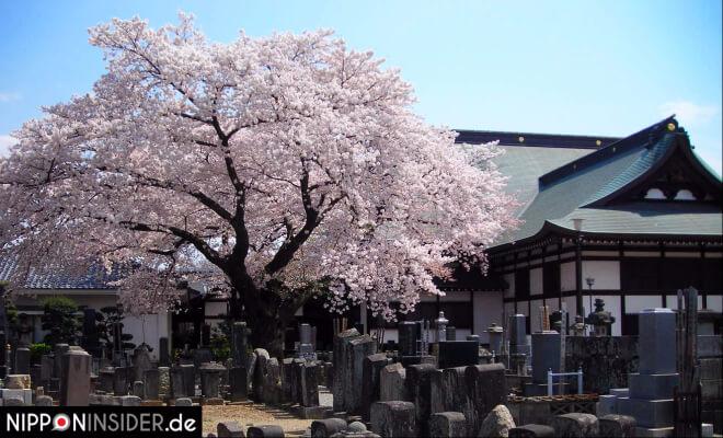 Ein blühender Kirschbaum auf einem Japanischen Friedhof, Grabsteine im Vordergrund | Nipponinsider Japanblog
