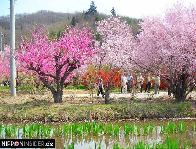 Blühende Bäume und ein junges Reisfeld im Vordergrund. Hanami-yama in Fukushima | Nipponinsider Japanblog