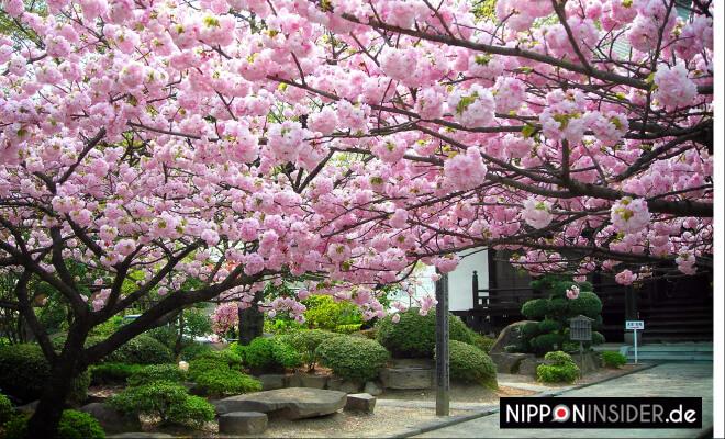 Yae-zakura in voller Blüte in einem japanischen Garten in Japan Fukushima | Nipponinsider
