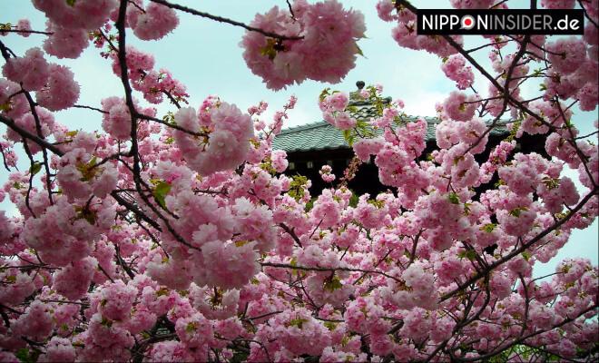 Yae-zakura in voller Blüte vor einem kleinen Schrein in Japan Fukushima | Nipponinsider