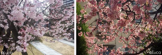 Kirschbaumblüte in Osaka