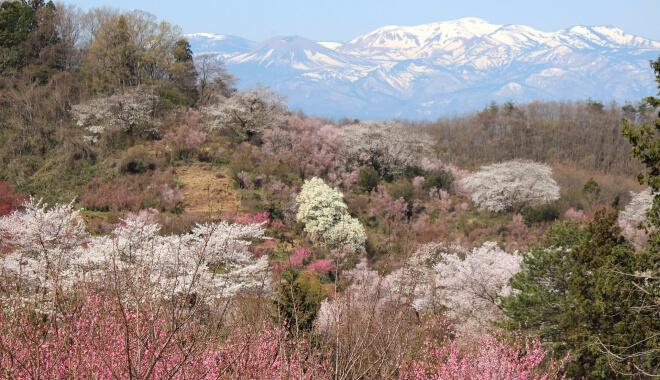 Hanamiyama in Fukushima - Blühende Bäume und Schneeberge im Hintergrund