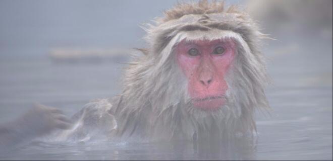 Affe mit rotem Gesicht beim Baden in einer heißen Quelle in Japan