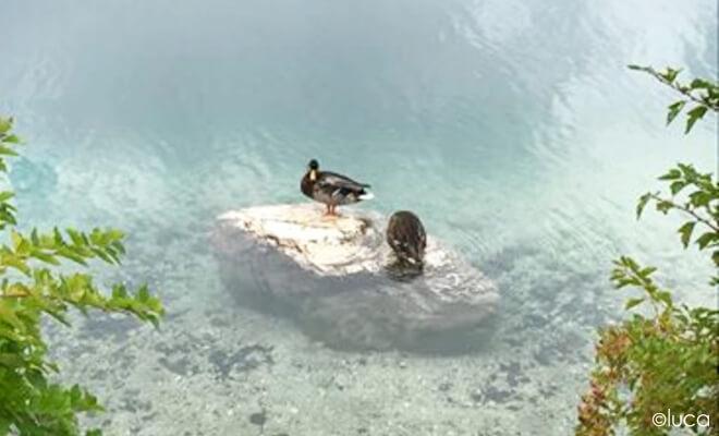 Enten am Schloss Neuschwanstein (nicht im Bild) auf einem Stein im Wasser sitzend