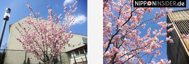 Kirschbäume in voller Blüte in Friedrichshain Frankfurter Allee / Georg-Friedrich-Händel-Oberschule | Nipponinsider