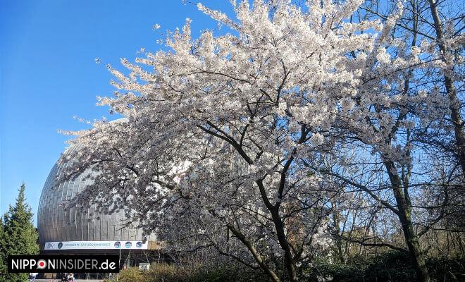 5. April 2020 - Planetarium an der Prenzlauer Allee, Berlin - Kirschblütenbau in voller Pracht