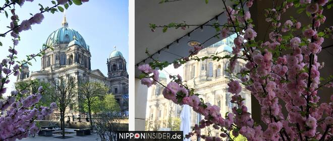 Sakura Kirschblüten Guide Berlin 2018 Berliner Dom | Nipponinsider