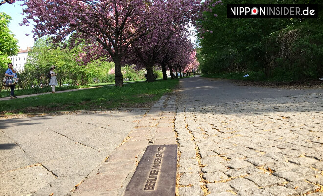 Sakura Kirschblüten in Berlin Neukölln / Treptow | Nipponinsider