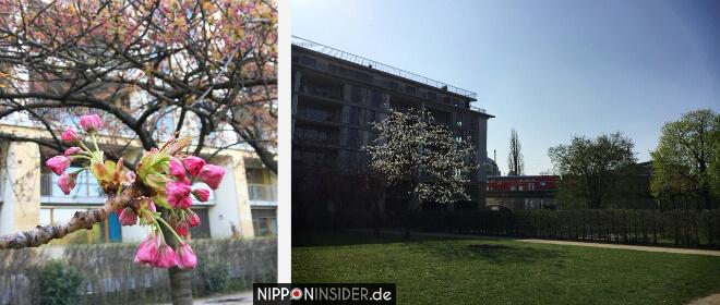 Sakura Kirschblüten Berlin Guide Monbijou Park | Nipponinsider