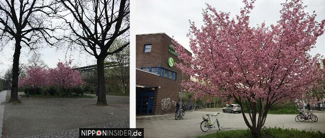 Sakura Kirschblüten Berlin Guide Stuttgarter Platz | Nipponinsider