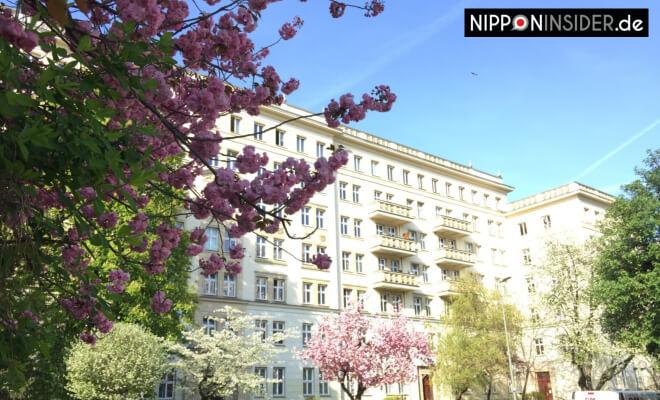Sakura Kirschblüten in Berlin Friedrichshain Weberwiese | Nipponinsider