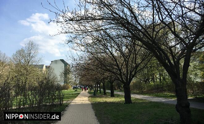 Kirschblüten Guide Berlin Sakura. Erste Knospen in der Heidelberger Straße Grenzstreifen | Nipponinsider