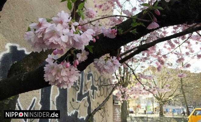 Sakura Kirschblüten Guide Berlin Lohmühlenplatz | Nipponinsider