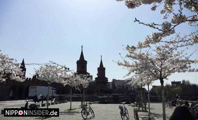 Sakura Guide Berlin. Kirschbäume an der Oberbaumbrücke | Nipponinsider