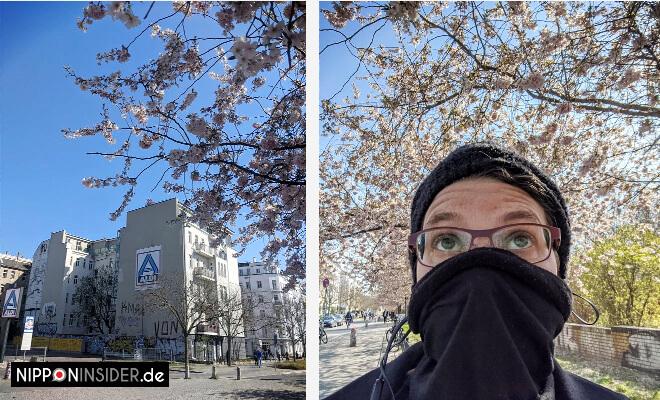 Kirschblüten 2020 an der Bornholmer Brücke in Berlin