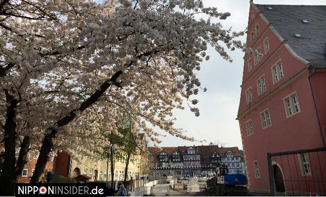 Blühender Kirschbaum in Wolfenbüttel | Nipponinsider