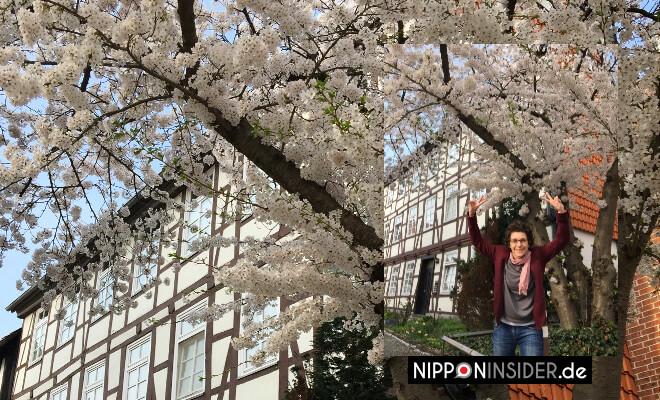 weiße Sakurablüten in Wolfenbüttel vor schönem Fachwerk | Nipponinsider