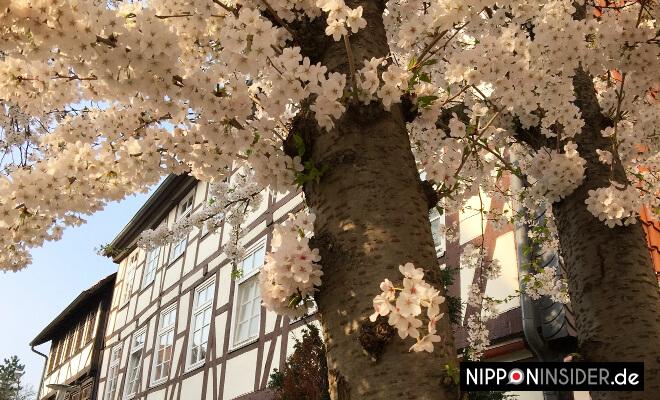 Weiße Sakurablüten in Wolfenbütte | Nipponinsider