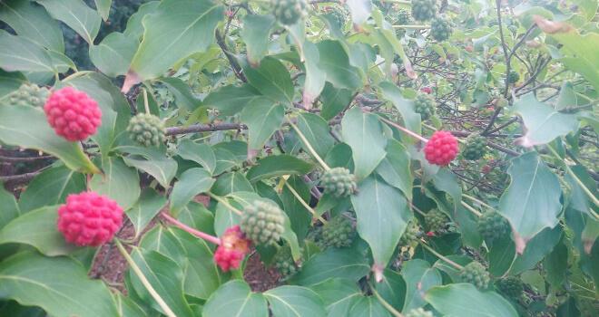 Japanische Baumfrucht im Ega Park in Erfurt